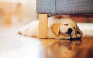 dog-puppy-retriever-sleeping-under-couch-hd-wallpaper